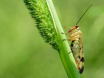 Scorpion fly Mecoptera Panorpa Panorpidae   Royalty Free Stock Photo