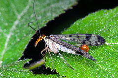 Scorpion fly Stock Images