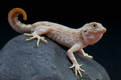 Scorpion gecko / Pristurus carteri Stock Photo