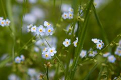 Scorpion Grasses Forget-me-Not Blue Flowers in Summer. Scorpion Grasses Forget-me-Not Myosotis Blue Flowers in Summer royalty free stock image