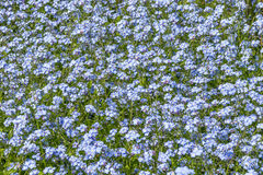 Scorpion grasses plant in nature. Forget-me-nots flowers field in the park in spring Stock Photos