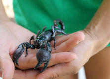 Girl with Scorpion in hands. Girl holding large emperor scorpion in her hands hand Stock Images
