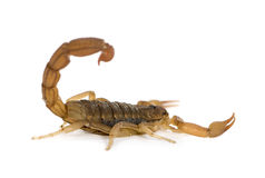 Scorpion - Hottentotta hottentotta royalty free stock image