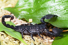Scorpion i djurliv Arkivbild