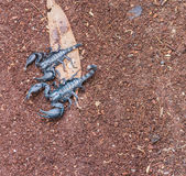Scorpion. Image of black scorpion on the wet ground royalty free stock photography