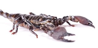 Scorpion isolated Royalty Free Stock Image