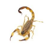 Scorpion. Isolated on white background Royalty Free Stock Photo