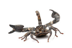 Scorpion Stock Photography