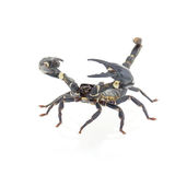 Scorpion isolated Royalty Free Stock Images