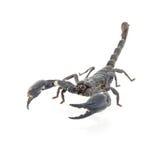 Scorpion isolated Royalty Free Stock Image