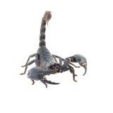 Scorpion isolated Stock Photography