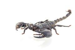 Scorpion isolated Stock Image
