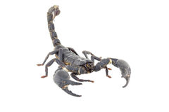 Scorpion isolated royalty free stock photo