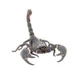 Scorpion isolated Stock Photos
