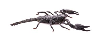 Scorpion an isolated on white background. Scorpion isolated on white background royalty free stock images