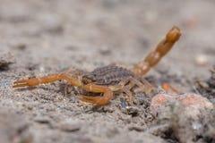 Scorpion jaune commun Image libre de droits