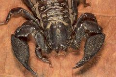 Scorpion, Liocheles nigripes, Hemiscopiidae, Madhya Pradesh. Scorpion, Liocheles nigripes, Hemiscopiidae Madhya Pradesh India stock photography