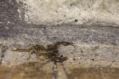 A scorpion Royalty Free Stock Photo