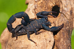 Scorpion Madagascar Images stock