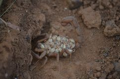 Scorpion mother Royalty Free Stock Image