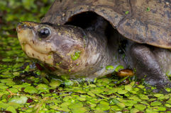 Scorpion mud turtle Stock Photos