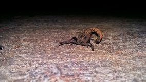 Scorpion In Night. Scorpion night dark light royalty free stock photo