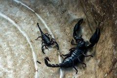 Scorpion noir Images libres de droits