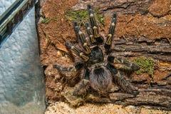 Scorpion noir d'isolement sur le fond blanc Image stock