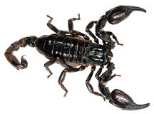 Scorpion Pandinus imperator isolated on white background Royalty Free Stock Images