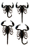 Scorpion Pandinus imperator Stock Photography