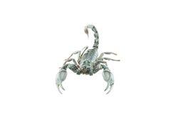 Scorpion Pandinus Stock Image