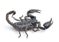 Scorpion Pandinus imperator  on white Royalty Free Stock Image