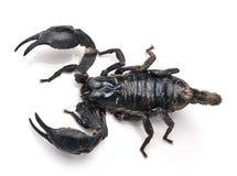Scorpion Pandinus imperator  on white Royalty Free Stock Photo