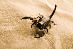 Scorpion on the sand stock images