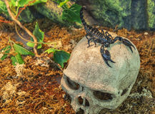 Scorpion on a skull Stock Photos