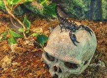 Scorpion on a skull Stock Photos