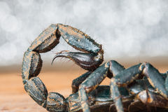 Scorpion stinger Royalty Free Stock Images