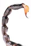 Scorpion tail Stock Image