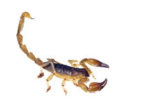 Scorpion with tail curved up ready to sting royalty free stock photo