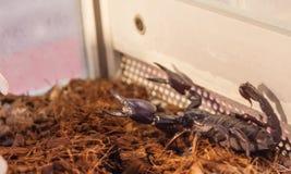 scorpion toxique Image libre de droits