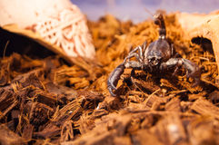 scorpion toxique Photos stock