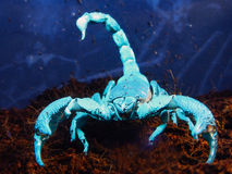 Scorpion under UV Stock Images