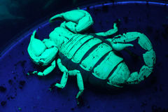Scorpion under UV light Stock Photo