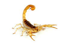 Scorpion velu de désert. Image libre de droits