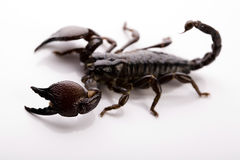 Scorpion on the white background Stock Photography