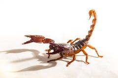 Scorpion. A Scorpion on white background Stock Photos