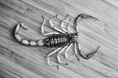 Scorpion on a wooden surface, overhead view. black and white. Young scorpion on a bamboo board, top view. black and white Stock Images