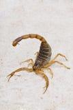 Scorpione fotografie stock