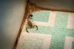 Scorpione aggressivo immagini stock