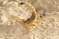 Scorpione dell'inseguitore di morte - quinquestriatus di Lieurus Immagine Stock